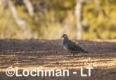 Phaps chalcoptera - Common Bronzewing - male LLS-768 ©Jiri Lochman LT