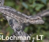 Pogona minor Western Bearded Dragon AHD-641 ©Marie Lochman LT