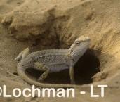 Pogona minor Western Brearded Dragon YAY-502 ©Jiri Lochman - Lochman LT