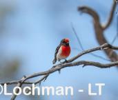 Red-capped Robin - male LLS-713 ©Jiri Lochman - Lochman LT