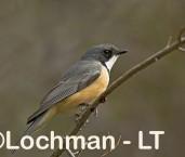 Rufous  Whistler LLG-865 © Lochman Transparencies