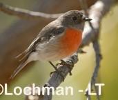 Scarlet Robin - female AAD-010 ©Marie Lochman - Lochman LT