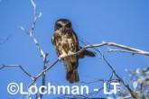 Southern Boobook AHD-634 ©Marie Lochman - Lochman LT