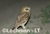 Southern Boobook LLG-876 © Lochman Transparencies
