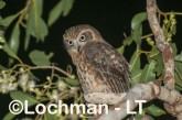 Southern Boobook LLS-696 ©Jiri Lochman - Lochman LT