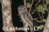 Southern Boobook LLS-697 ©Jiri Lochman - Lochman LT
