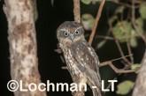 Southern Boobook LLS-698 ©Jiri Lochman - Lochman LT