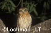 Southern Boobook LMY-849 ©Jiri Lochman - Lochman LT