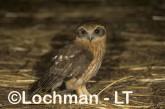 Southern Boobook LMY-853 ©Jiri Lochman - Lochman LT