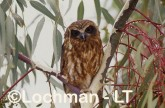Southern Boobook YGY-164 ©Jiri Lochman - Lochman LT
