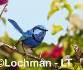 Splended Fairy-wren LLK-972 ©Jiri Lochman - Lochman LT