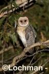 Tyto novaehollandiae - Australian Masked Owl CCD-004 ©Rob Drummond - Lochman LT