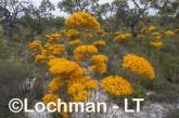 Verticodia nitens Orange Morrison Featherflower LLK-705  ©Jiri LochmanLT