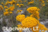 Verticodia nitens Orange Morrison Featherflower LLK-706  ©Jiri LochmanLT