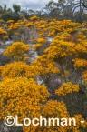 Verticodia nitens Orange Morrison Featherflower LLK-707  ©Jiri LochmanLT