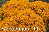 Verticodia nitens Orange Morrison Featherflower LLK-708  ©Jiri LochmanLT