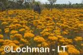 Verticodia nitens Orange Morrison Featherflower LLK-709  ©Jiri LochmanLT