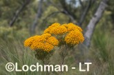 Verticodia nitens Orange Morrison Featherflower LLK-710  ©Jiri LochmanLT