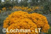 Verticodia nitens Orange Morrison Featherflower LLK-711  ©Jiri LochmanLT