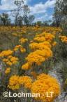 Verticordia nitens Orange Morisson AHD-651 ©Marie Lochman LT