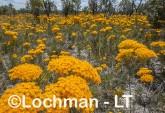 Verticordia nitens Orange Morisson AHD-653 ©Marie Lochman LT