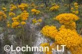 Verticordia nitens Orange Morisson LLS-789 ©Jiri Lochman LT
