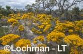 Verticordia nitens Orange Morisson LLS-793 ©Jiri Lochman LT
