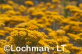 Verticordia nitens Orange Morisson LLS-794 ©Jiri Lochman LT
