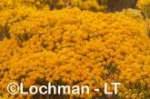 Verticordia nitens Orange Morisson LLS-795 ©Jiri Lochman LT