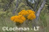 Verticordia nitens Orange Morisson LLS-796 ©Jiri Lochman LT