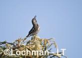 Western Wattlebird LLH-312 © Lochman Transparencies