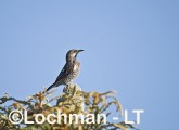 Western Wattlebird LLH-314 © Lochman Transparencies