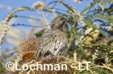 Western Wattlebird LLH-319 © Lochman Transparencies