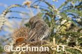 Western Wattlebird LLH-320 © Lochman Transparencies