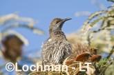 Western Wattlebird LLH-321 © Lochman Transparencies
