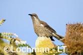 Western Wattlebird LLH-324 © Lochman Transparencies
