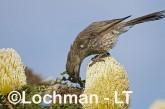 Western Wattlebird LLH-325 © Lochman Transparencies