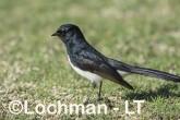 Willie Wagtail AHD-636 ©Marie Lochman - Lochman LT