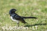 Willie Wagtail AHD-637 ©Marie Lochman - Lochman LT