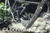 Willie Wagtail LCY-332 ©Jiri Lochman - Lochman LT