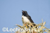 Willie Wagtail LLH-487 © Lochman Transparencies