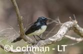 Willie Wagtail LLK-662 ©Jiri LochmanLT
