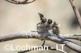 Willie Wagtail LLS-734 ©Jiri Lochman - Lochman LT