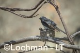 Willie Wagtail LLS-735 ©Jiri Lochman - Lochman LT