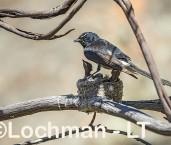 Willie Wagtail LLS-736 ©Jiri Lochman - Lochman LT