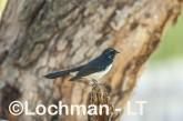 Willie Wagtail LLS-742 ©Jiri Lochman - Lochman LT