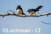 Willie Wagtail LLS-747 ©Jiri Lochman - Lochman LT