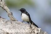 Willie Wagtail LLS-750 ©Jiri Lochman - Lochman LT