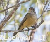 Pachycephala rufiventris - Rufous Whistler - immature LLS-892 ©Jiri Lochman LT