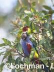Purpureicephalus spurius - Red-capped Parrot  LLS-881 ©Jiri Lochman LT
